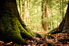 At Treebeard's feet (derScheuch) Tags: light tree green feet leaves forest geotagged moss mood dof minolta sony laub alpha wald baum f4 900 moos oldenburg treebeard niedersachsen lowersaxony ammerland 3570mm 3570 baumbart wildenloh geo:lat=53123753 geo:lon=811924
