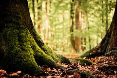 At Treebeard's feet (derScheuch) Tags: light tree green feet leaves forest geotagged moss mood dof minolta sony laub alpha wald baum f4 900 moos oldenburg treebeard niedersachsen lowersaxony ammerland 3570mm 3570 baumbart wildenloh geo:lat=53123753 geo:lon=811924