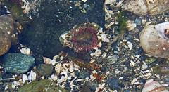 Low Tide Anemone (DollsinDystopia) Tags: seattle alki westseattle lowtide seaanemone