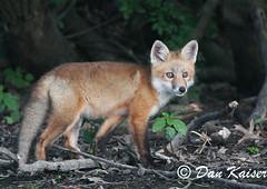 Fox Kit (dhkaiser) Tags: red dan fox kit kaiser nwr ias muscatatuck