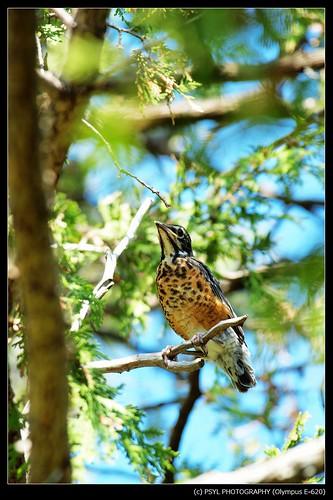 American Robin (Turdus migratorius) fledgling