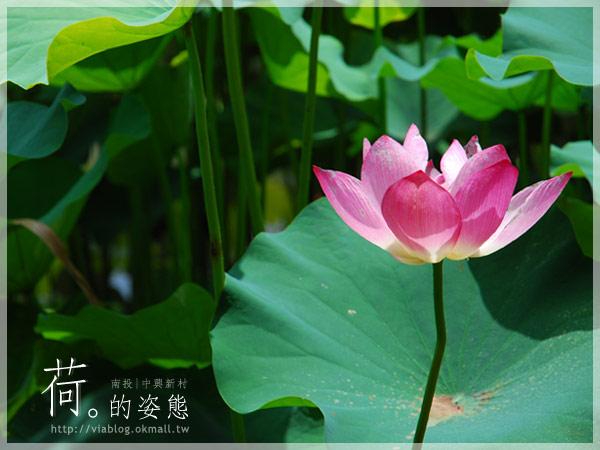 【2010賞荷】南投中興新村~荷花(蓮花)池準備盛放!15