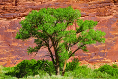 "Large Cottonwood tree along the Colorado River (IronRodArt - Royce Bair (""Star Shooter"")) Tags: plant tree wall river sandstone colorado native plateau canyon cottonwood"