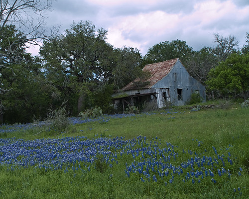 Bluebonnets and Farm House