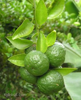 Jeruk Limo