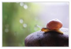 Snail II (view large) (Storm_XL) Tags: storm macro sony snail di 300 alpha tamron 90mm f28 slak huisjesslak platinumheartaward sonya300 updatecollection stormxl mygearandme mygearandmepremium mygearandmebronze