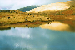 Alcock Tarn (Alice144.) Tags: uk england mountain lake snow film grass wall reflections sheep grasmere lakedistrict 1999 scan hills cumbria alcocktarn tarn fotocompetition|fotocompetitionbronze