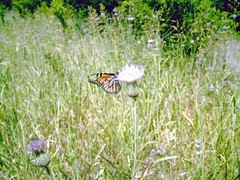 viceroy buttefly on thistle