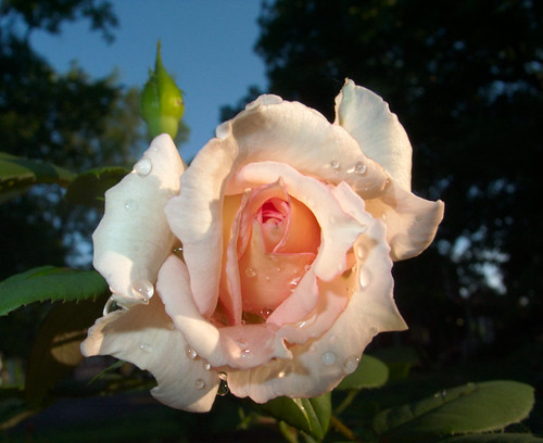 Pink Rose, Top View