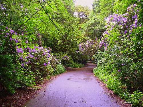 Joe Neary Otterspool Park Rhododendrons smaller