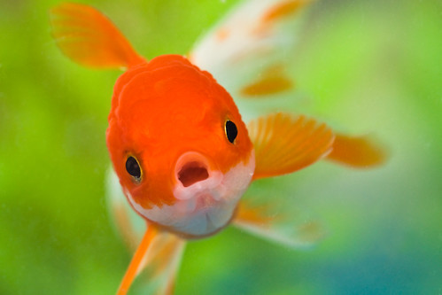orange white fish macro water face swimming mouth aquarium eyes goldfish bokeh scales fins flippy redoranda mg2848