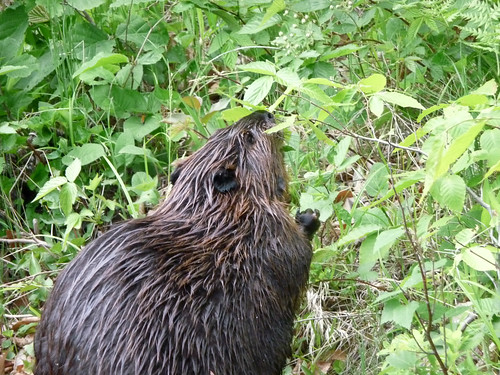Our beaver friend
