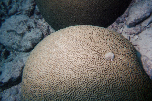 Brain coral with anemone