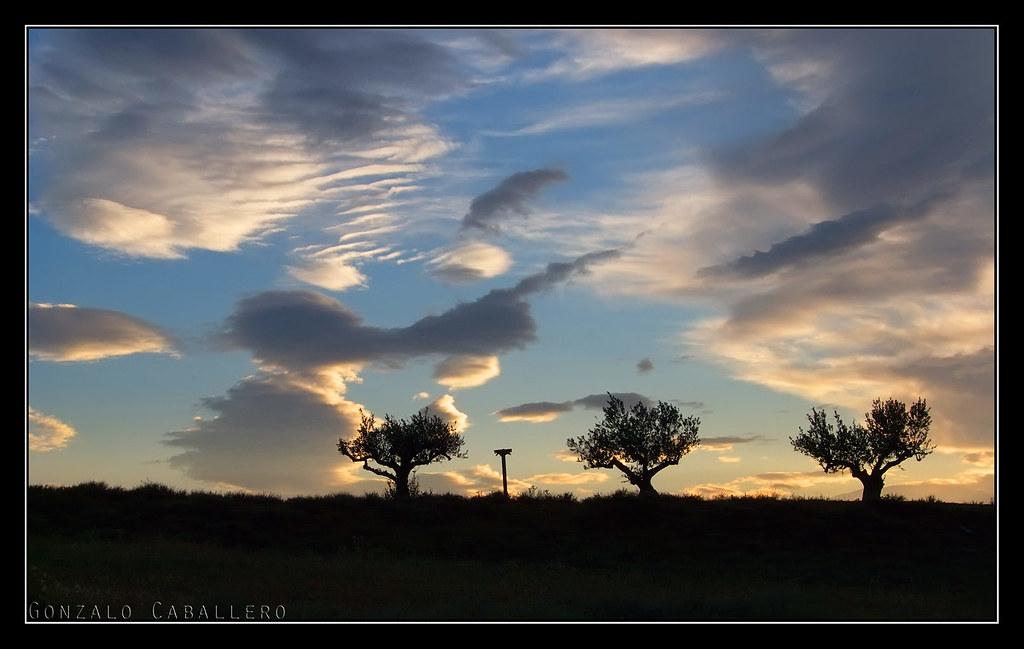 Olivos solitarios