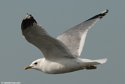 Common Gull, adult, W[EN58]