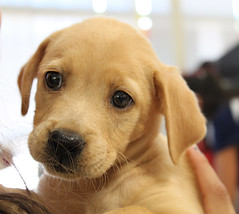 Adoption Site puppy Guzzle @ 8 weeks (Immature Animals) Tags: arizona rescue dog baby cute animal puppy tucson foster bark adoption neuter spay koalition