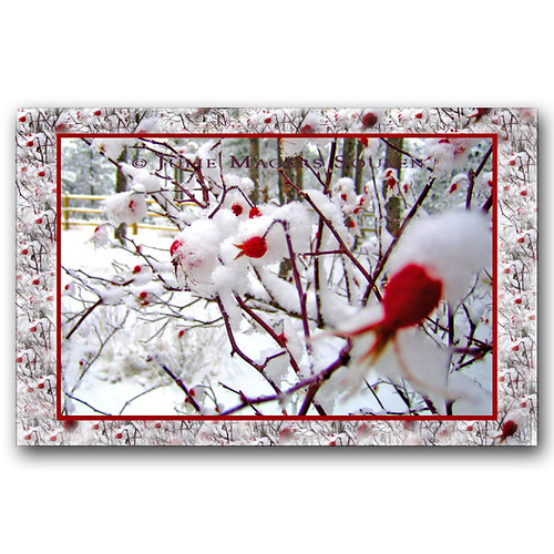 Roses in Snow Holiday Card