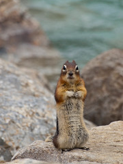 """Ground squirrel 3 of x: """"Food?"""" (Daedalus_T) Tags: park lake canada golden squirrel ground louise national alberta banff lakelouise banffnationalpark mantled"""