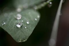 drops (dive-angel (Karin)) Tags: drops peas erbsen blatt leaf wassertropfen tropfen waterdrops eos5dmarkiv 100mm balcony balkon
