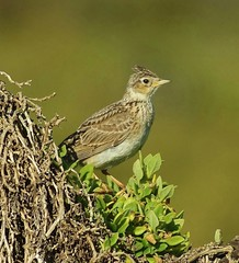 Eurasian Skylark (oliverred) Tags: specanimal coth5 sunrays5 naturethroughthelens autofocus