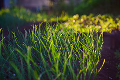 Sunset in Revda или грядка лука в огороде. 2017. Ревда. (SergeyKalugin) Tags: primotar meyer analoglens 135 nature
