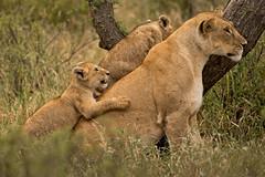 Lions of Maasai Kopjes 409 (Grete Howard) Tags: bestsafarioperator bestsafaricompany africa africansafari africanbush africananimals whichsafaricompany whichsafarioperator tanzania serengeti animals animalsofafrica animalphotos lions lioncubs maasaikopjes kopjes kopje