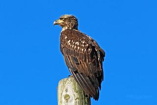 Bald Eagle Juvenile 17-0507-4573