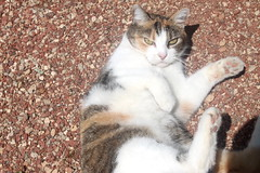 Patches Calico photo of the day 7/3/2017 (Patches Madison) Tags: patches calico ♥ cute sweet adorable pretty cat