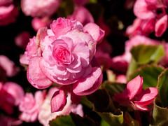 Rosa Blüte (Matthias Wicke) Tags: badherrenalb blume blüte gartenschau gartenschaubadherrenalb2017 kurpark landesgartenschau glitzern nass rosa
