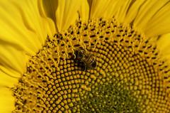 IMGP8247 (sapiens5) Tags: sunflower tournesol fleur végétal extérieur pentax k5iis 1685 hd abeilleinsecte