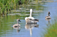 Sunday outing. (pstone646) Tags: swans birds adult babies cygnets fauna reflections nature river elmley kent wildlife wildfowl waterfowl animals