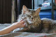 Loving the Scritches (Vegan Butterfly) Tags: jack animal cat feline cute adorable fur furry maine coon bed pet petting scratch scratching scritch scritching scritches child kid