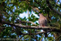 Caribbean Dove in the morning. (E S M Photography) Tags: caribbean caribe dove morning tree sun puertorico puertorriqueño boricua borred look green outdoor wildlife eyes