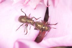 (Φ-Filippos-Κ) Tags: cyprus nature macro oleander petals bite ecology beetle beetles 2017 july κύπροσ έντομο φύση αροδάφνη insect