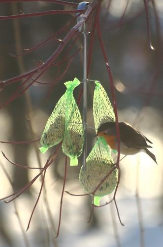 Erithacus rubecula | Roodborstje - European robin