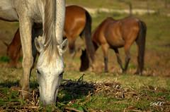 Curraleiro (Duarte de Castro Cunha Neto) Tags: horse cavalo tropa