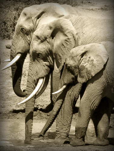 フリー画像| 動物写真| 哺乳類| 象/ゾウ| モノクロ写真|       フリー素材|
