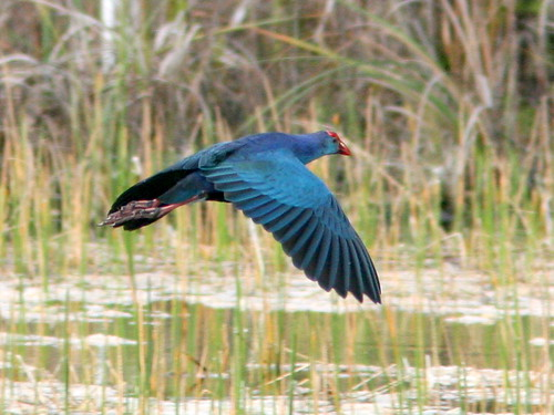 Purple Swamphen  (Porphyrio porphyrio) 20091228