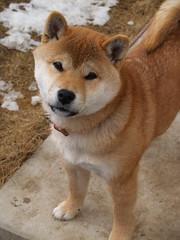 [フリー画像] [動物写真] [哺乳類] [イヌ科] [犬/イヌ] [柴犬/シバイヌ]      [フリー素材]
