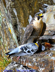 Peregrine falcon with a catch.#6 (spw6156) Tags: 1 with taken nationaltrust licence shedule plymbridge cannquarry peregrinefalconcatchadultfemalefalcon1000mmlenshandheldiso400croppedfalcoperegrinus raptorsreworkedcopyrightstevewaterhouse plymperegrineproject plymbridgeperegrinefalcons copyrightstevewaterhouse