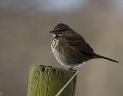 Song Sparrow (Rick Leche) Tags: songsparrow melospizamelodia