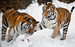 Hey! (fPat) Tags: orange snow animal animals canon zoo fight brothers stripes teeth tiger bat attack whiskers exotic bigcat 5d philly playful swat phila philadelphiazoo amurtiger exoticanimal mark2 specanimal firstzoo 5dmarkii burst5d5dmark2canonfpatphotocom