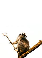 Lemur in profile (alan shapiro photography) Tags: animal profile posing lemur alanshapiro specanimal theunforgettablepictures ashapiro515 alanshapiroashapiro515 2010alanshapiro alanshapirophotography wwwalanwshapiroblogspotcom 2010alanshapirophotography