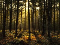 Blidworth Woods (DaveKav) Tags: uk greatbritain trees winter england sunlight silhouette woods shadows unitedkingdom britain olympus sherwoodforest gb nottinghamshire e510 blidworth fourthirds superaplus aplusphoto blidworthwoods platinumheartaward