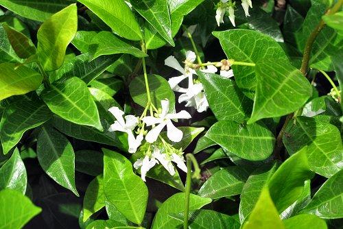 Trachelospermum jasminoides (rq) - 03