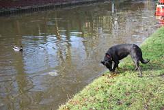 The Shropshire Union Canal at Audlem 170110 DSC_0019 (Leslie Platt) Tags: dog canal cheshire shropshireunioncanal mallard inlandwaterways cheshirewestchester