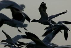 68EV0183 (sgbaughn) Tags: geese goose snowgeese snowgoose