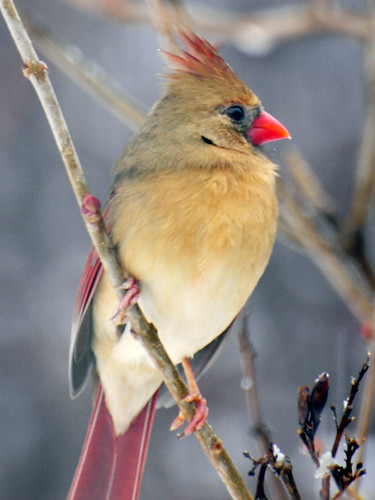 female cardinal snow 3