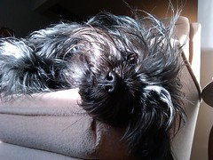 hairy dog cute puppy beard monkey paw furry moustache trouble paws mischief sunbeam scruffy affenpinscher