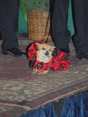 Nikki the Ring Bearer
